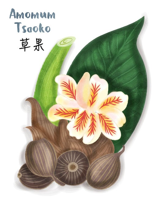amomum tsaoko illustration